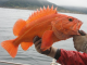 CDFW announces changes to recreational groundfish regulations