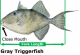 Gray triggerfish size limit to increase in Atlantic state waters effective July 9