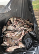 260 fish left to waste