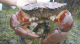 Commercial rock crab fishery opens