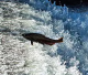 Upgrade to Norcal native salmon and steelhead spawning habitat