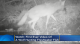 First-ever video footage of wolves fishing and catching