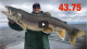 Giant Lake Trout Video