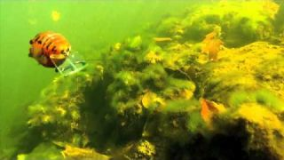 Underwater Viewpoint: LIVETARGET Squarebill Craw