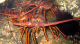 Public Health Hazard Closes Commercial Spiny Lobster Fishery at East End of Santa Cruz Island