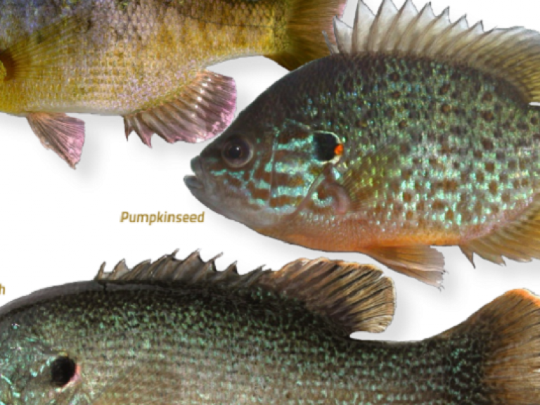Know Your Forgage To Catch More Bass | Sunfish and Tule Perch - Sunfish as Forage- a broad group of fishes comprised of bluegill, pumpkinseed, redear sunfish, green sunfish, warmouth, etc. I'm also going to touch on Tule perch as they are native to California and behave similar to introduced sunfish, but exhibit some unique characteristics we do not see with other species.