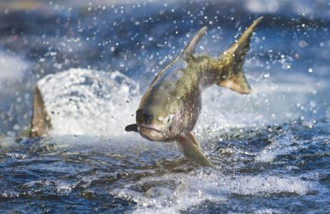Did the gov hide a report that shows Trump's water plan would hurt California salmon