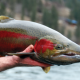 Steelhead fishing on the upper Salmon River