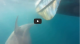 Great white shark, 16-foot, 3,000-pound, reeled in by sport fisherman