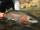 Washington posts new rules: Emergency steelhead fishing restrictions for Snake River system