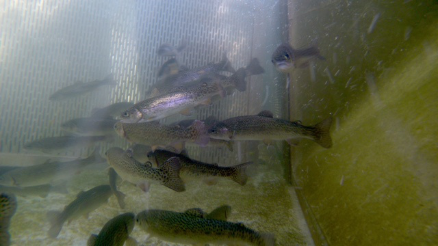 American river hatchery suffers fish die off for California fish hatcheries
