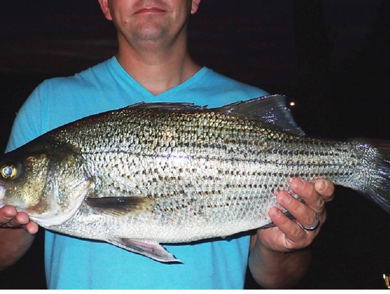 Best Western Motors >> STATE-RECORD HYBRID STRIPED BASS CAUGHT | Westernbass.com